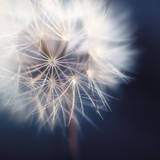 Dandelion Haze Giclee Print by Andreas Stridsberg