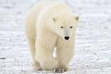 Polar Bear Photographic Print by  AndreAnita