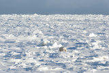 Polar Bear on Ice Photographic Print by  EEI_Tony