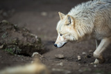Arctic Wolf (Canis Lupus Arctos) Aka Polar Wolf or White Wolf Photographic Print by l i g h t p o e t