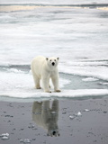 Polar Bear in Natural Environment Photographic Print by  zanskar