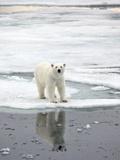 Polar Bear in Natural Environment Print by  zanskar