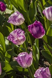 Purple Tulips in Bloom Photographic Print by Richard T. Nowitz