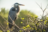 Great Blue Heron (Ardea Herodias) Bird Photographic Print by Richard T. Nowitz
