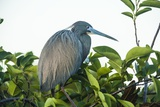 Little Blue Heron in Tree Photographic Print by Richard T. Nowitz