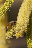 Close up of Honey Bee Pollinating Flower of Acacia Pycnantha Tree Photographic Print by Richard T. Nowitz