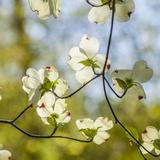 Dogwood Tree Flowers Photographic Print by Richard T. Nowitz