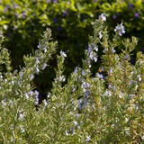 Flowering Sage Bush Photographic Print by Richard T. Nowitz