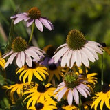 Black-Eyed Susan and Echinacea Flowers Photographic Print by Richard T. Nowitz