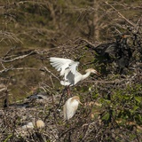 Cattle Egret with Chicks at Wakodahatchee Wetlands. Photographic Print by Richard T. Nowitz