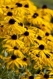 Black-Eyed Susan Photographic Print by Richard T. Nowitz
