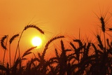 Wheat Plants in Silhouette Photographic Print by Richard T. Nowitz