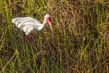 American White Ibis Photographic Print by Richard T. Nowitz