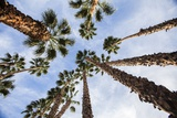 California Fan Palms Photographic Print by Richard T. Nowitz