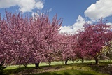 Cherry Trees in Bloom Photographic Print by Richard T. Nowitz
