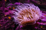 Pink Anemone Photographic Print by Richard T. Nowitz