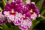 Purple Butterfly Orchids Photographic Print by Richard T. Nowitz