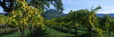Vineyard at Chateau St. Jean Winery, Kenwood, Sonoma County, California, USA Photographic Print by  Panoramic Images