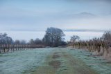 Vineyard in Winter During Fog, Ukiah, North Coast, California, USA Photographic Print by Green Light Collection