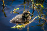 Mallard Duckling Swimming, Flatey Island, Breidafjordur, Iceland Photographic Print by Green Light Collection