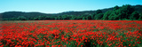 Poppies Field in Spring, Provence-Alpes-Cote D'Azur, France Photographic Print by  Panoramic Images
