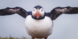 Atlantic Puffin (Fratercula Arctica) Iceland Reproduction photographique par Green Light Collection