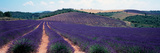 Lavender and Corn Fields in Summer, Provence-Alpes-Cote D'Azur, France Photographic Print by  Panoramic Images