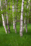 Birch Trees in the Great Meadow, Acadia National Park, Maine, USA Photographic Print by Green Light Collection