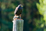 Harris Hawk (Parabuteo Unicinctus) Perching on a Wooden Post, Ontario, Canada Photographic Print by Green Light Collection
