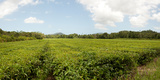 Tea Plantation, Diwan, Queensland, Australia Photographic Print by  Panoramic Images