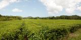 Tea Plantation, Diwan, Queensland, Australia Photographic Print by  Panoramic Images