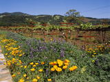 Wild Poppies and Lupine Flowers in a Vineyard, Kenwood Vineyards, Kenwood, Sonoma County Photographic Print by Green Light Collection