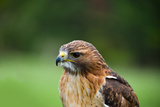 Close-Up of a Red-Tailed Hawk (Buteo Jamaicensis Photographic Print by Green Light Collection