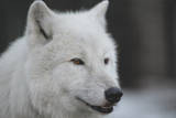 Close-Up Portrait of Polar Wolf or White Wolf Photographic Print by  PH.OK