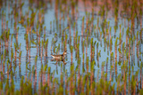 Red-Necked Phalarope (Phalaropus Lobatus), Sandgerdi, Iceland Papier Photo par Green Light Collection
