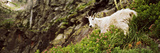 Mountain Goat (Oreamnos Americanus) Standing in Foliage, Us Glacier National Park, Montana, USA Photographic Print by  Panoramic Images