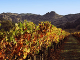 Grapevines in a Vineyard, Stag's Leap Vineyards, Napa Valley, California, USA Photographic Print by Green Light Collection