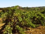 Vineyard at Kunde Estate Winery, Sonoma Valley, California, USA Photographic Print by Green Light Collection