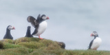 Atlantic Puffins (Fratercula Arctica) Iceland Photographic Print by Green Light Collection