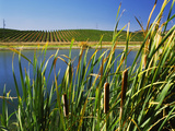 Tules at the Lakeside with Shafer Vineyards in the Background, Sonoma, California, USA Photographic Print by Green Light Collection