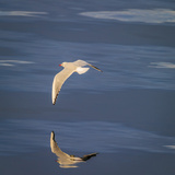 Seagull Flying Low over Reykjavik, Iceland Photographic Print by Green Light Collection
