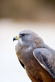 Close-Up of a Swainson's Hawk (Buteo Swainsoni Photographic Print by Green Light Collection