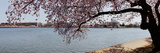 Cherry Blossom Trees with the Jefferson Memorial in the Background, Washington Dc, USA Photographic Print by  Panoramic Images