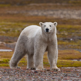 Polar Bear, Spitsbergen Island, Svalbard, Norway Photographic Print by Green Light Collection