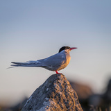 Arctic Terns (Sterna Paradisaea), Flatey Island, Breidafjordur, Iceland Photographic Print by Green Light Collection