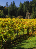 Vineyard, Russian River Valley, Sonoma, California, USA Photographic Print by Green Light Collection