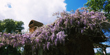 Lilacs Flowers at Kuleto Estates Winery, St. Helena, Napa County, California, USA Photographic Print by  Panoramic Images