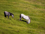 Horses Grazing, Summertime, Iceland Photographic Print by Green Light Collection