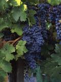 Cabernet Sauvignon Grapes in Vineyard, Wine Country, California, USA Papier Photo par Green Light Collection