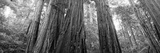 Redwood Trees, Muir Woods National Monument, California, USA Photographic Print by  Panoramic Images